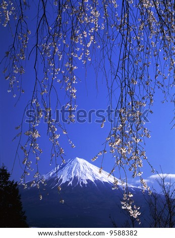A weeping cherry tree in full blossom and Mt,Fuji - stock photo