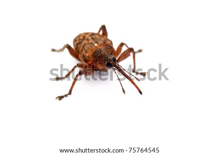a weevil beetle over a white background