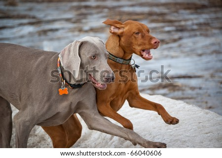 A Weimaraner and a Vizsla run side-by-side across an icy field. - stock photo