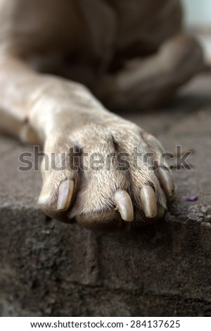 A weimaraner dog's paw close up. - stock photo