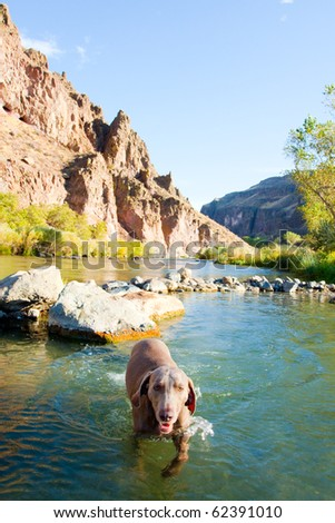 A weimaraner enjoys the water in Eastern Oregon along a river and lake. - stock photo