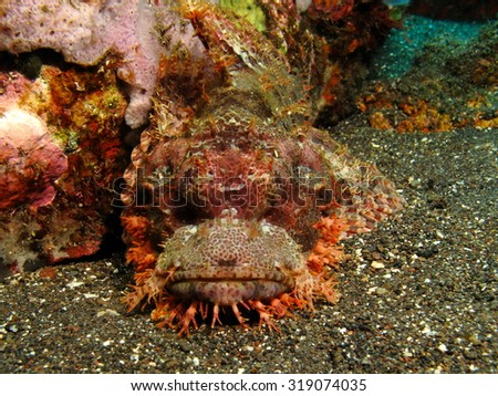A well camouflage scorpionfish