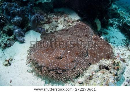 A well-camouflaged Tasseled wobbegong shark (Eucrossorhinus dasypogon) lays on the sandy seafloor of Raja Ampat, Indonesia. This ambush predator waits for prey to swim near their mouth. - stock photo