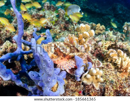 A well hidden Scorpionfish on a tropical coral reef