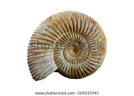 A Well Preserved Ammonite Specimen
