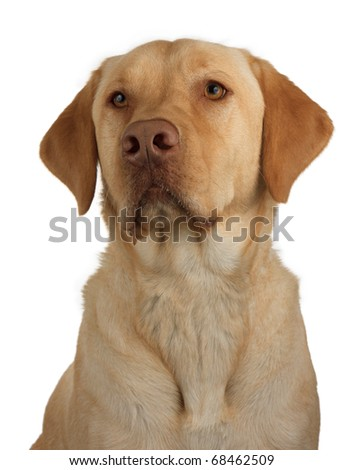 a well trained and faithful labrador awaits it next command; portrait of a yellow lab on a white background - stock photo