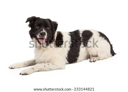 A well trained Border Collie Mix Breed Dog laying while looking forward. Mouth is open and tongue is out.