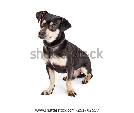 A well trained Chihuahua and Dachshund Mixed Breed Dog sitting while looking sideways. - stock photo