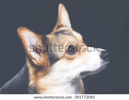 A Welsh corgi portrait with a vintage twist. Image taken in a studio and has a vintage effect applied. - stock photo
