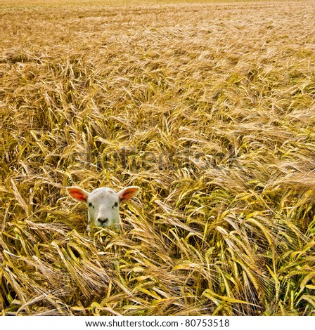 a welsh spring lamb taking an adventurous trip into a golden wheat field but now is completely lost and looking for the way out.