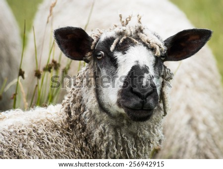 A Wensleydale ewe grazes in a field. One of the largest and heaviest of all sheep breeds, the Wensleydale has long, ringlet-like locks of wool. It is categorized as a rare breed - stock photo