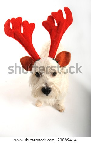 A west highland white terrier dog is unhappy about wearing reindeer antlers for Christmas.