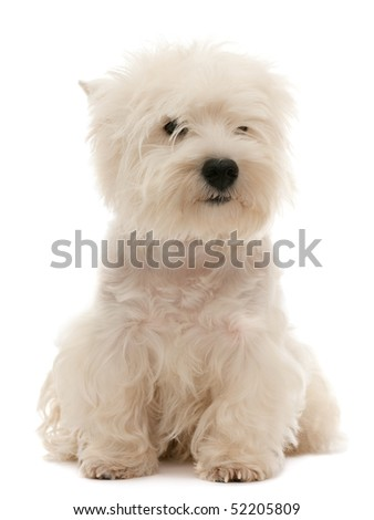A west highland white terrier puppy is sitting; isolated on the white background - stock photo