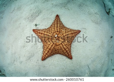 A West Indian starfish (Oreaster reticulatus) lays the shallow seafloor of Turneffe Atoll in Belize. This beautiful echinoderm is an omnivore and feeds on algae, sponges, and invertebrates. - stock photo