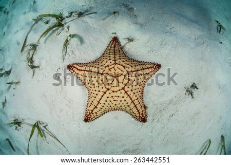 A West Indian starfish (Oreaster reticulatus) sits on the shallow seafloor of Turneffe Atoll in Belize. This echinoderm is an omnivore and feeds on algae, sponges, and invertebrates. - stock photo