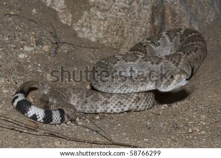 A western diamondback rattlesnake flicking its tongue. - stock photo