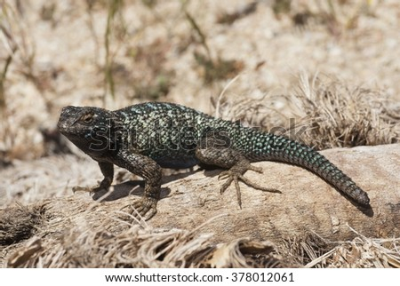 """A western fence lizard, often referred to as a """"blue-belly"""" in it's natural habitat in California. - stock photo"""