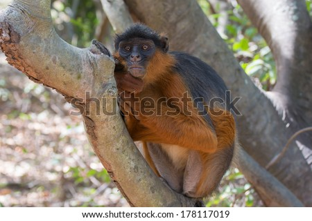 A Western Red Colobus Monkey (Piliocolobus badius) in a unique resting position