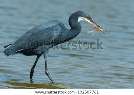 A Western Reef Heron (Egretta gularis) holding up his catch - stock photo