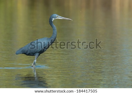 A Western Reef Heron (Egretta gularis) standing in shallow water - stock photo