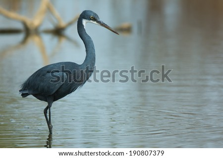 A Western Reef Heron (Egretta gularis) wading in shallow water - stock photo