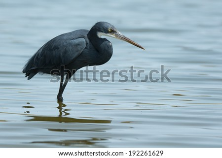 A Western Reef Heron (Egretta gularis) wading in water - stock photo