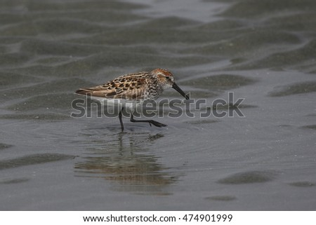 A Western Sandpiper (Calidris mauri) foraging on a beach in Tofino, British Columbia, Canada.