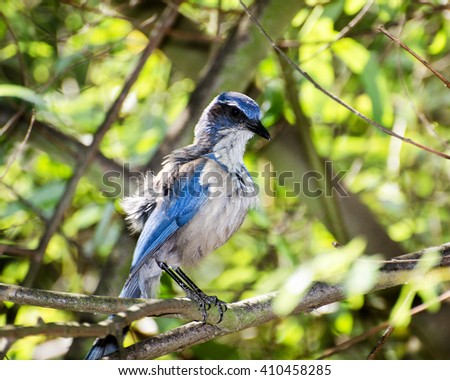 A Western Scrub-Jay (Aphelacoma californica) perches in a tree, Franklin Canyon, Los Angeles, CA, USA. - stock photo