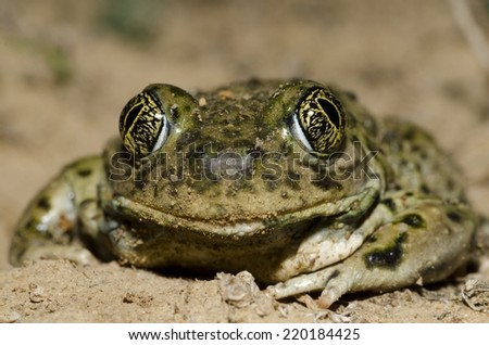 A western spadefoot toad (Spea hammondii), a species of special concern in Southern California.  - stock photo