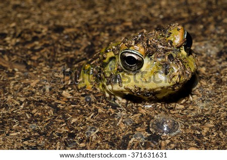 A western toad (Anaxyrus boreas halophilus) sticking it's head out of pond.