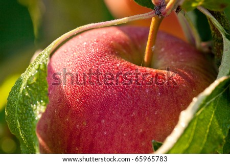A wet Apple outdoors, hanging on a tree, just before picking - stock photo