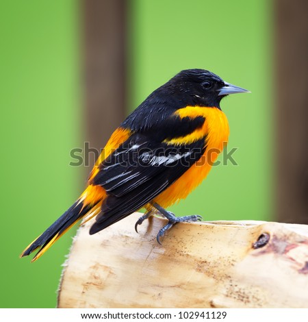 A wet Baltimore Oriole perched on a log in a rain shower.