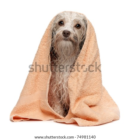 A wet chocolate havanese dog after the bath with a peach towel isolated on white background - stock photo