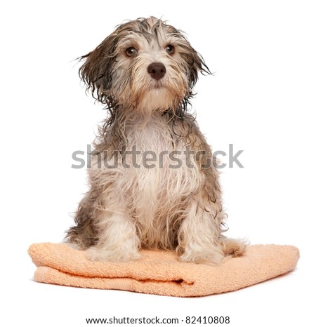A wet chocolate havanese puppy dog after bath is sitting on a peach towel isolated on white background - stock photo
