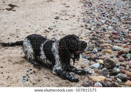 A wet cocker spaniel dog at the coast at baltic sea