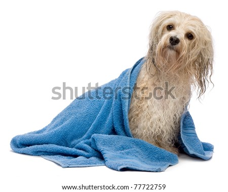 A wet cream havanese dog after the bath with a blue towel isolated on white background - stock photo