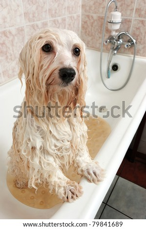 A wet cream havanese dog is bathing in a tube and looking to camera - stock photo