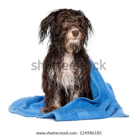 A wet dark chocolate havanese dog after the bath with a blue towel isolated on white background - stock photo