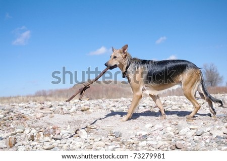 A wet dog walking with a big stick in Colorado - stock photo