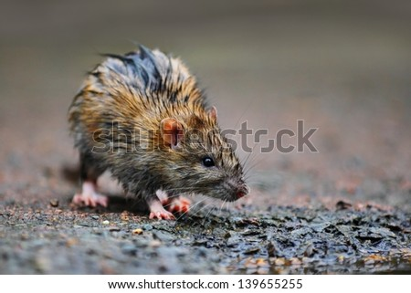 A wet rat on the ground after a rainy night. - stock photo