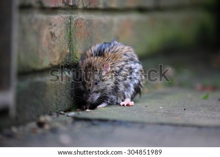 A wet rat on the ground after a rainy night - stock photo