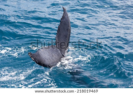 A whale in Hervey Bay Australia doing a tail slap and dive - stock photo