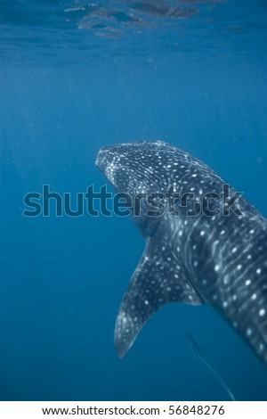 A whale shark coming up - stock photo