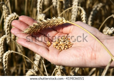 A wheat field and a female hand holding wheat and a wheat stalk. - stock photo