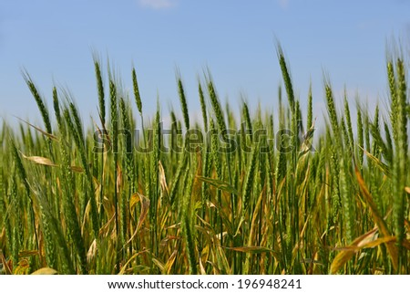 A wheat field, fresh crop of wheat