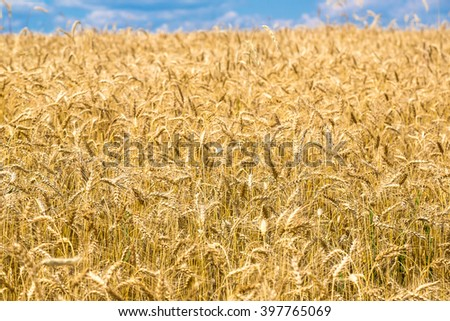 A wheat field in a beautiful summer day