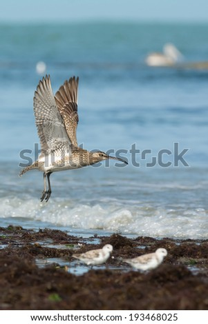 A Whimbrel (Numenius Phaeopus) on take off at the beach - stock photo