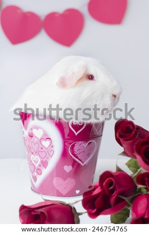 A white American Guinea pig sits in a Valentines themed bucket. He has some red roses and hearts can be seen in the background.