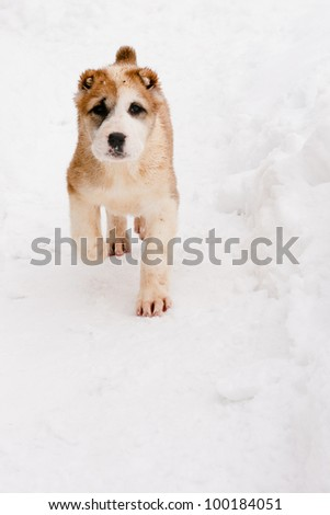 A white and brown central asian puppy walk on snow