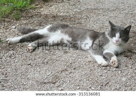 a white and grey cat relaxes outdoors - stock photo